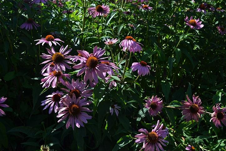 Echinacea podporuje imunitu