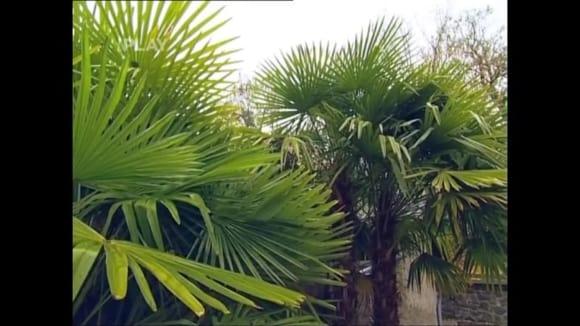 Jak zazimovat palmy