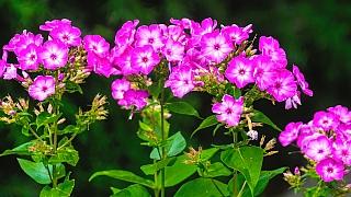 Víte, které trvalky milují slunce, snáší sucho a kvetou celé léto? Floxy!