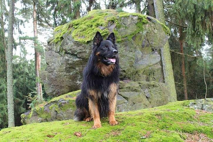 Chodští psi pomáhali střežit zemské hranice už ve středověku