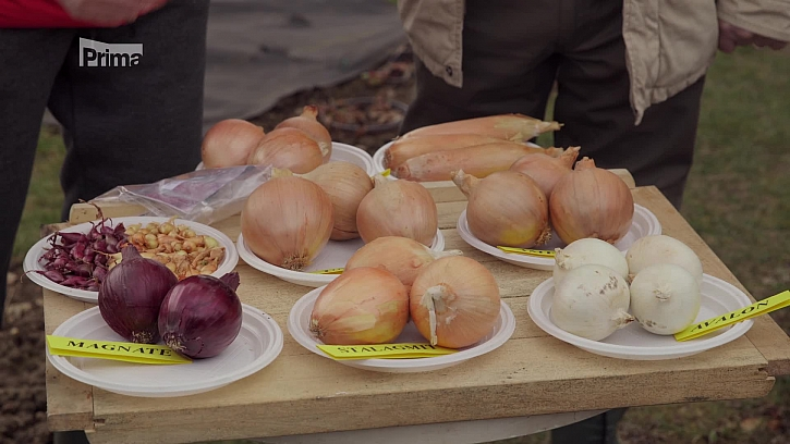 Vysazování nebo vysévání cibule? (Zdroj: Pěstování cibule ze semen nebo ze sazečky?)