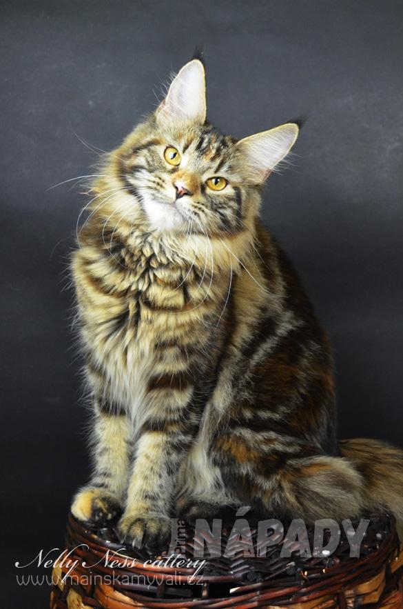 mainská mývalí kočka 2