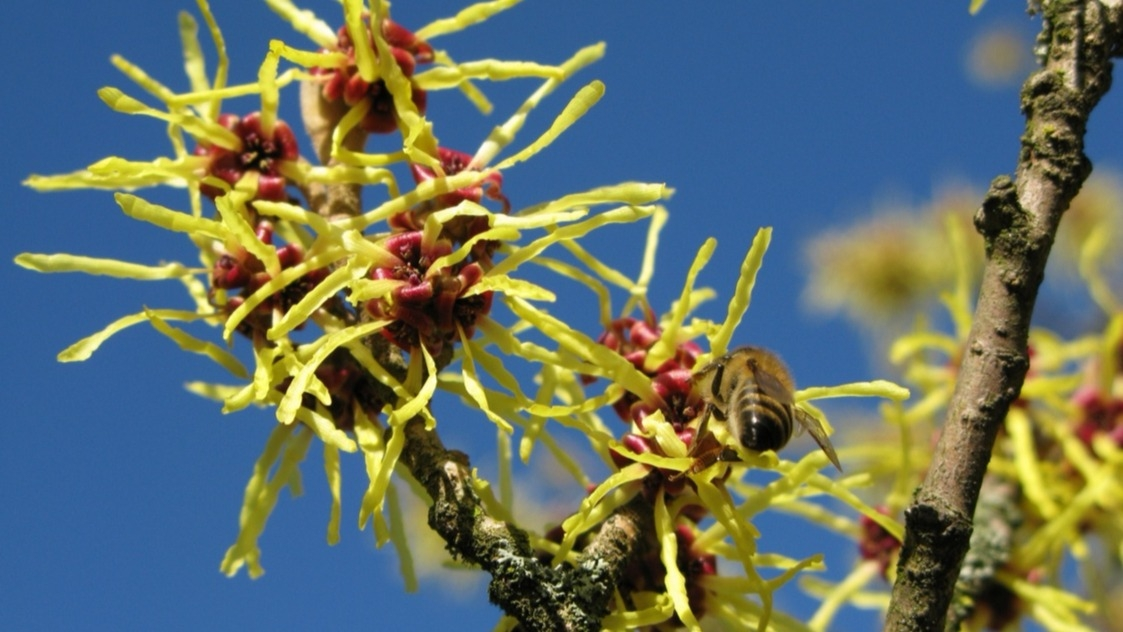 Lýkovec, vilín, zimokvět: Víte, jak pěstovat nejrychlejší posly jara?