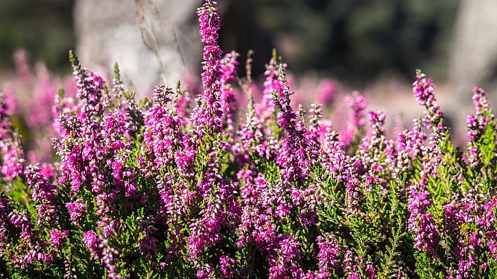 Jako léčivku sbírejte jen původní druh vřesu obecného (Calluna vulgaris), zahradní odrůdy jsou vhodné výhradně na okrasu