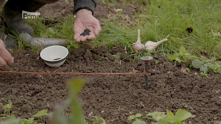 Výsev medvědího česneku a mech v trávníku
