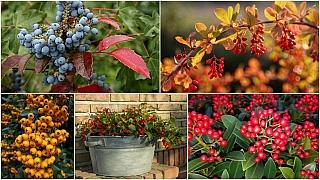 Dřišťál, libavka, mahónie, hlohyně a skimie: Oblíbené keře floristů
