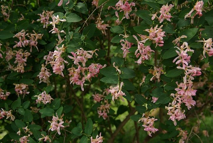 Krásně kvetoucí Lonicera bella