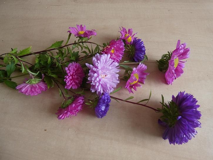 Růžové a fialové astry