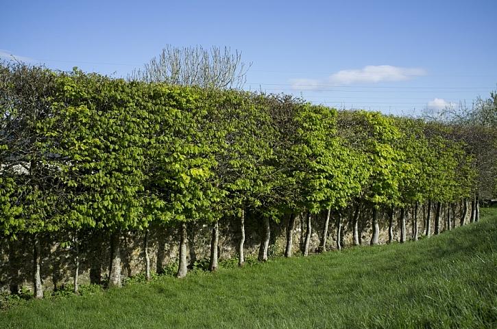 Pěstování habrů má velkou tradici i ve Velké Británii