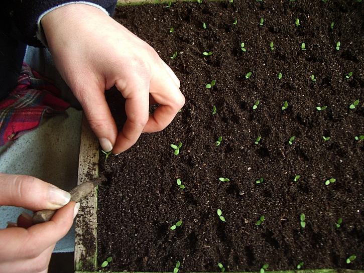 Pikýrování mladých rostlin