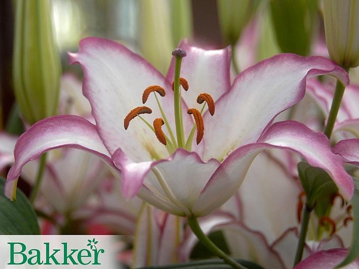 Jak pěstovat lilie?