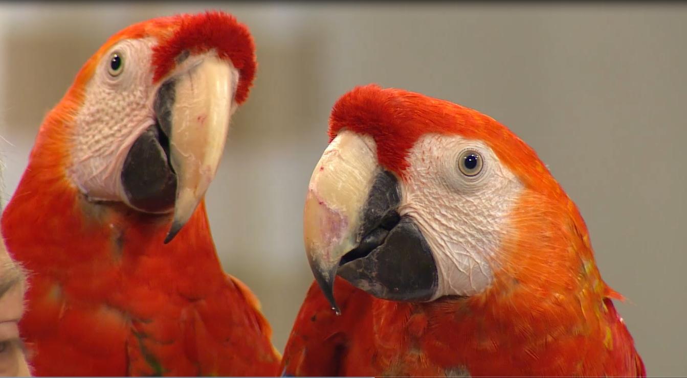 Námluvy u papoušků: Víte, jak se rozpozná pan papoušek od paní papouškové? Většinou těžko!