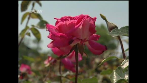 Nemoci a škůdci na růžích