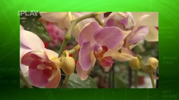 Jak hnojit orchideje