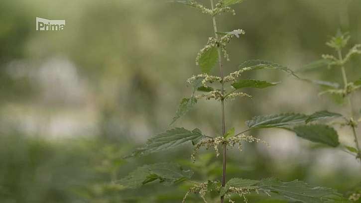 Semena kopřiv