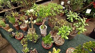 Jak vypěstovat tlustici jako bonsai