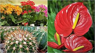 Pokojové rostliny rodině na míru: anturie pro mámu, kaktus pro tátu, kalanchoe pro děti