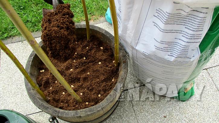 Jak pěstovat hrášek v nádobě: vysejte semínka