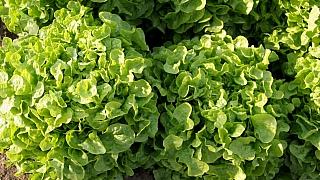 Jak mít čerstvý salát až do prvních mrazíků: Sezona výsevu a výsadby naštěstí ještě neskončila