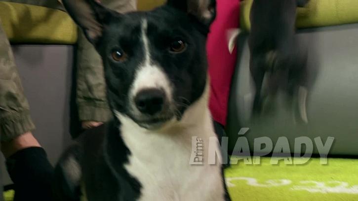 Pes Basenji