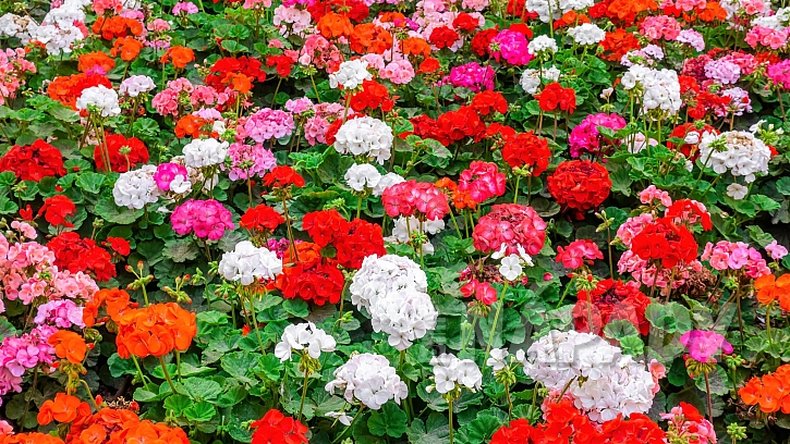 Svět pěstování muškátů: pelargonie páskaté (Pelargonium zonale) neboli vzpřímené muškáty