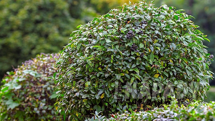 Rostliny vhodné do živého plotu: ptačí zob (Ligustrum)