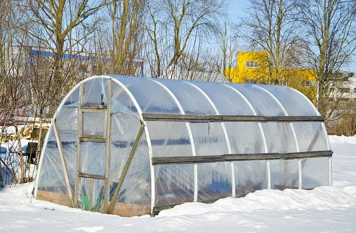 Foliovník přežije i zimu, pokud z něj odházíte sníh