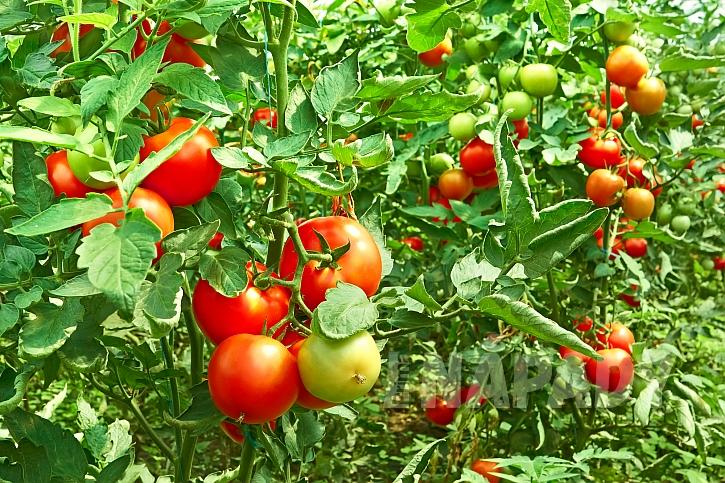 Při pěstování rajčat může dojít k různým deformacím plodů (Zdroj: Depositphotos.com)