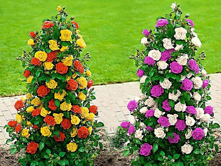 Růže - královna květin