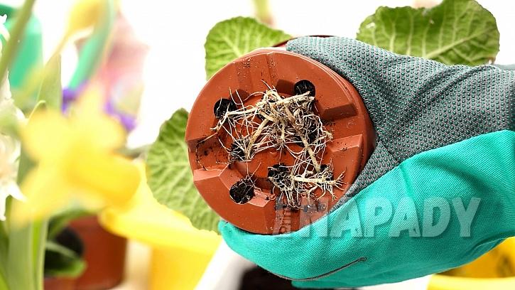 Pokojové rostliny potřebují na jaře přesadit:  kořeny vyrůstající z odtokového otvoru signalizují, že je nejvyšší čas na změnu