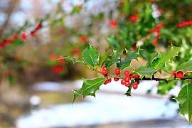 Cesmíny se vrací na naše zahrady jako oblíbené vánoční keře