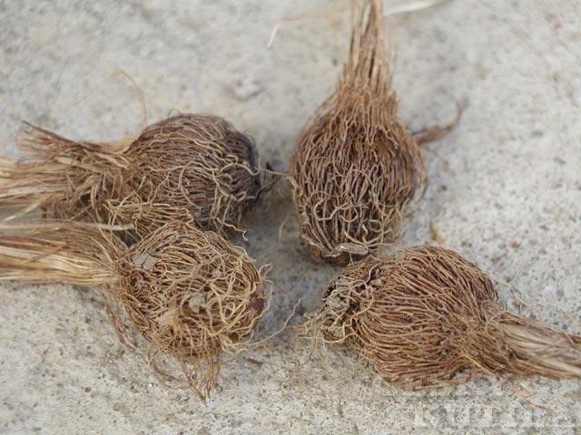 Šafrán jarní