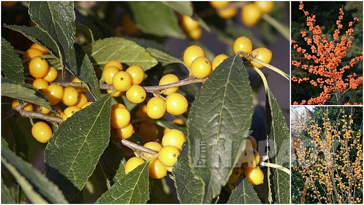 Žluté plody Ilex verticillata 'Goldfinch', oranžové plody Ilex verticillata 'Winter Gold' a bledě žluté Ilex verticillata 'Gold Winterberry'