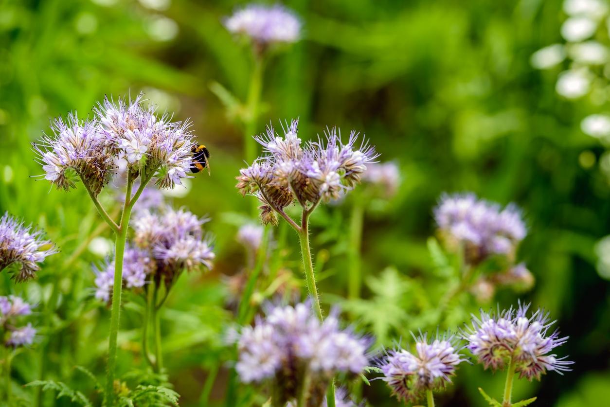Svazenka vratičolistá: Užitečná kráska, která umí vylepšit půdu inakrmit včelky