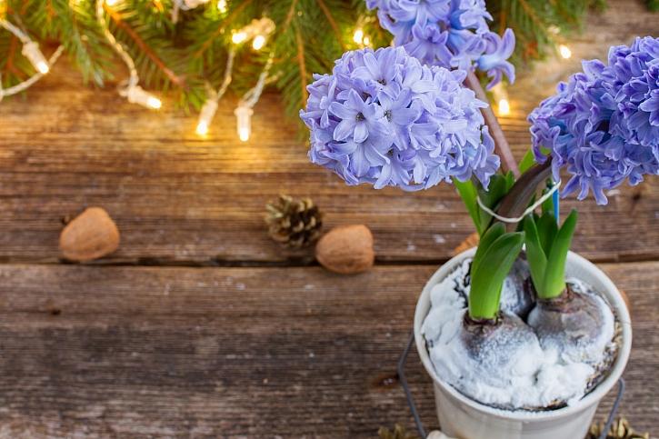 Vánoční cibuloviny jsou velmi oblíbenou dekorací na štědrovečerním stole (Zdroj: Depositphotos)