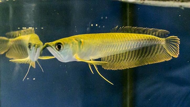 V akváriu můžete chovat i dravé rybky