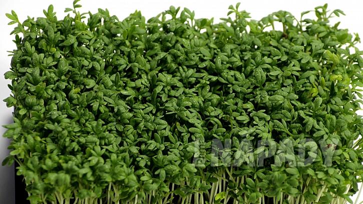 7 druhů koření na podporu hubnutí:  řeřicha setá (Leppidium sativum)