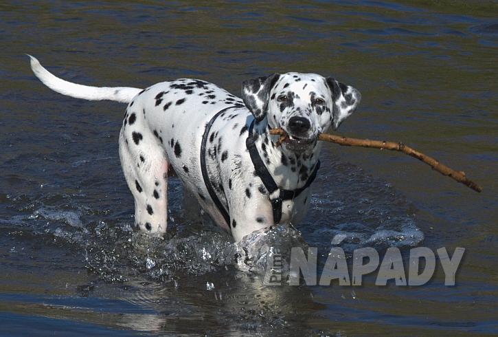Dalmatini milují vodu
