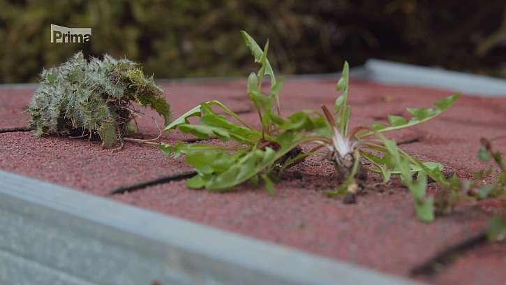 Plevele v trávníku