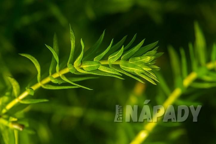 Vodní mor je vytrvalá sladkovodní bylina