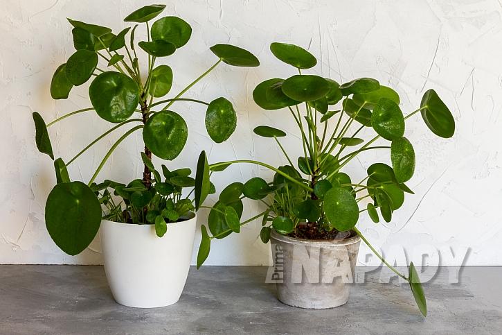 Pilea peperomioides, chinese money plant nebo palačinková kytka