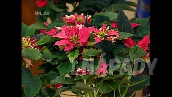 Rostliny s vánoční symbolikou