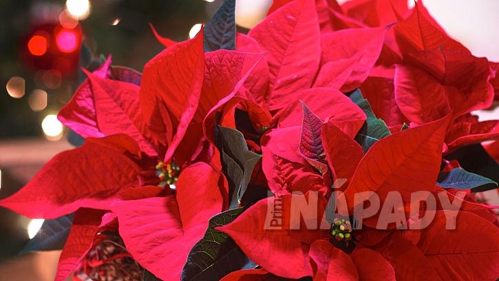Nejkrásnější vánoční květiny: vánoční hvězda (Poinsettia)