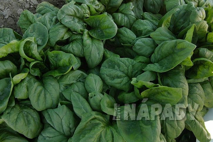Špenát odrůda Matador