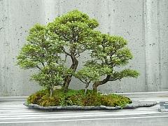 Vypravte se na výstavy bonsají za krásami rostlinných miniatur