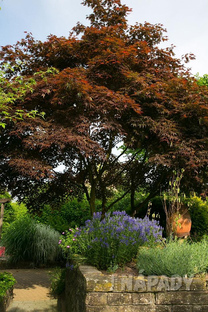 Červenolistá dřevina a další rostliny na zahrádce