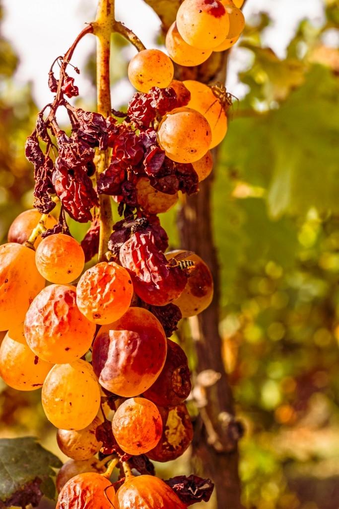 Hroznové víno, zasažené rozvíjející se šedou plísní, která likviduje plody.