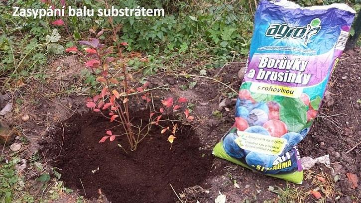 Výsadba borůvek
