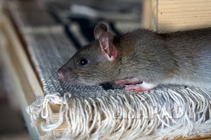 Potkan jako domácí mazlíček 2
