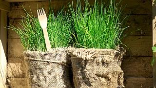 Kdy a jak připravit pažitku krychlení? Proč pěstovat pažitku ivzimě?